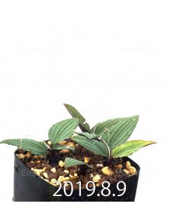 ドリミオプシス sp. nov. 子株 2863