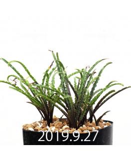 レデボウリア クリスパ 小型 子株 3011
