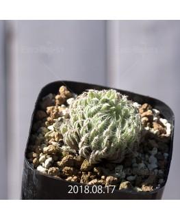 ハオルチア テネラ 子株 3456