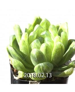 ハオルチア 青玉簾 3569