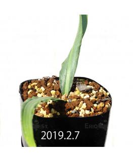 ドリミア ヒヤシントイデス IB40719 実生 3935