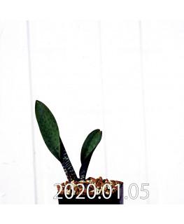 ラケナリア sp. JAA639 実生 3950