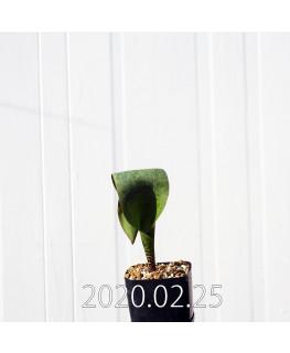 ラケナリア sp. JAA639 実生 3954