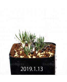 オーニソガラム sp.  子株 4006