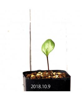 エリオスペルマム cf. アルキコルネ MRO136 実生 4197