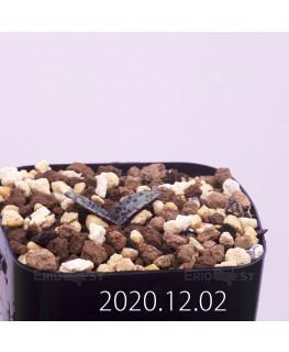 Lachenalia pustulata ラケナリア プスツラータ ISI2007-26  4385