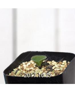 エリオスペルマム cf. アルキコルネ MRO136 実生 4923