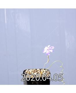 モラエア ヘレイ  実生 4968