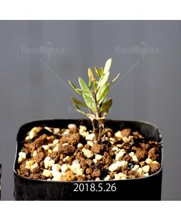 ブラキステルマ ナヌム ES10526 実生 5721