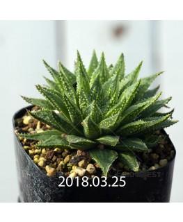 ハオルチア 交配種 暗黒竜 子株 6073