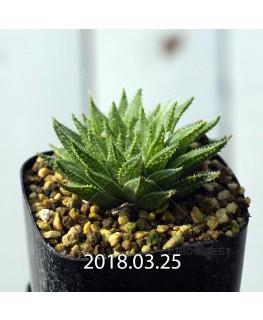 ハオルチア 交配種 暗黒竜 子株 6074