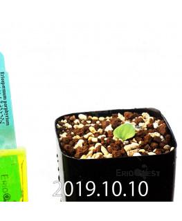 エリオスペルマム ポルフィリウム 実生 6411