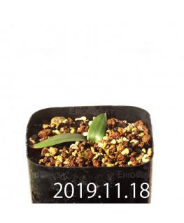 Albuca unifolia アルブカ ウニフォリア ES15533  6906
