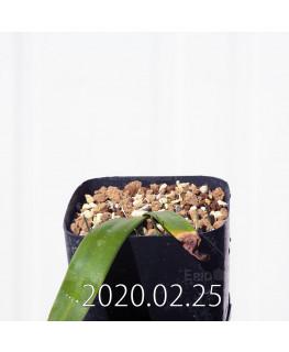 Albuca unifolia アルブカ ウニフォリア ES15533  6915
