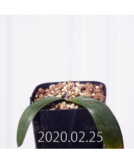 Albuca unifolia アルブカ ウニフォリア ES15533  6933