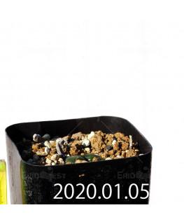 ドリミア sp. cf. プラティフィラ Lemoen poo 実生 7136