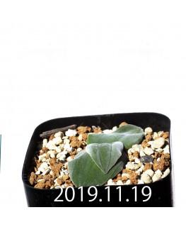 ドリミア sp. cf. プラティフィラ Lemoen poo 実生 7138
