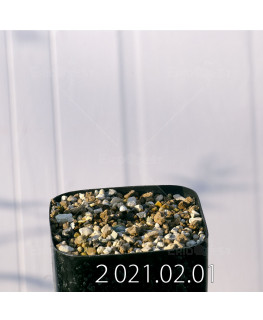 Drimia sp. ドリミア 未識別種 cf. プラティフィラ Lemoen poo  7138