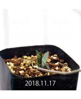ストルマリア ディスキフェラ 子株 7171