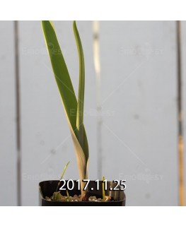 ラケナリア アロイデス クアドリカラー変種 子株 7315