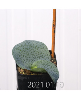 Lachenalia kliprandensis ラケナリア クリプランデンシス EQ443  7842