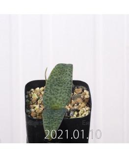 Lachenalia kliprandensis ラケナリア クリプランデンシス EQ443  7844