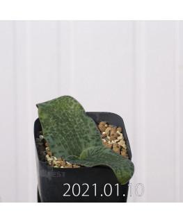 Lachenalia kliprandensis ラケナリア クリプランデンシス EQ443  7846