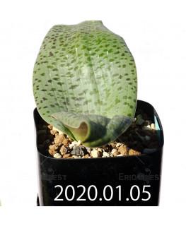 Lachenalia kliprandensis ラケナリア クリプランデンシス EQ443  7848