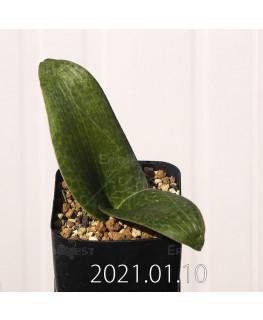 Lachenalia kliprandensis ラケナリア クリプランデンシス EQ443  7856