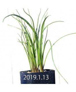 ラケナリア ロンギチューバ Type-TS 子株 7907
