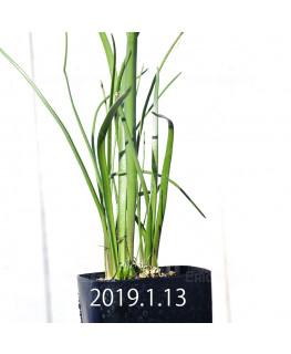 ラケナリア ロンギチューバ Type-TS 子株 7912