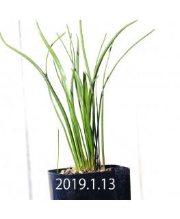 ラケナリア ロンギチューバ Type-TS 子株 7913