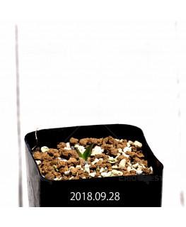 マッソニア ジャスミニフローラ IB11536/JIL085 実生 7967