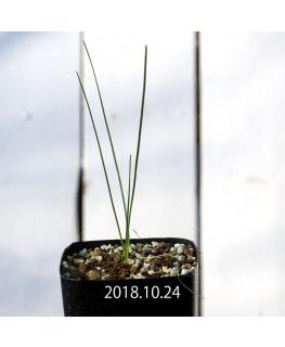 Wurmbea ixioides ウルンベア イクシオイデス EQ111  8331