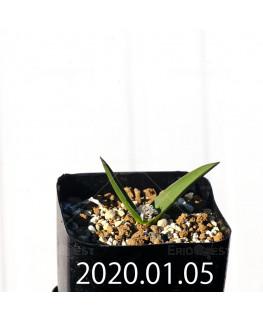 Lachenalia calcicola IB22635 Seedling