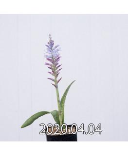 ラケナリア オーキオイデス グラウキナ変種 実生 8413
