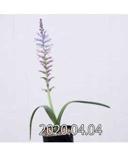 ラケナリア オーキオイデス グラウキナ変種 実生 8414