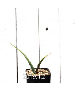 キアネラ ヒヤシントイデス EQ461 実生 8430