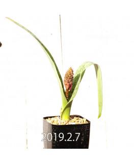 ラケナリア 交配種 EQ483 子株 8648