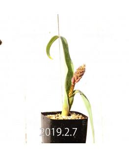 ラケナリア 交配種 EQ483 子株 8649