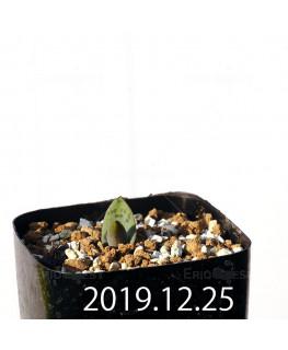 ラケナリア 交配種 EQ483 子株 8652