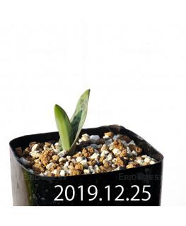 ラケナリア 交配種 EQ483 子株 8654