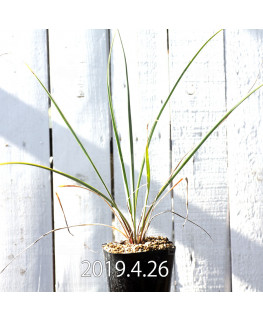 Yucca リギダ EQ493 実生 8778