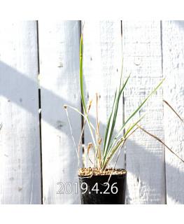 Yucca リギダ EQ493 実生 8782