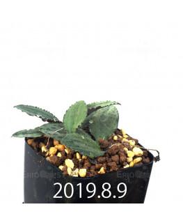 ドリミオプシス sp. EQ496 子株 8829