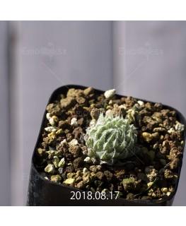 ハオルチア テネラ 子株 8892