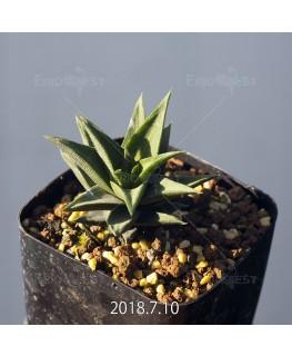 ハオルチア トルツオサ 子株 9151