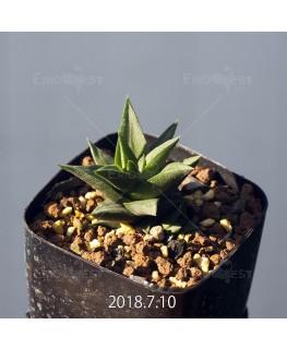 ハオルチア トルツオサ 子株 9167