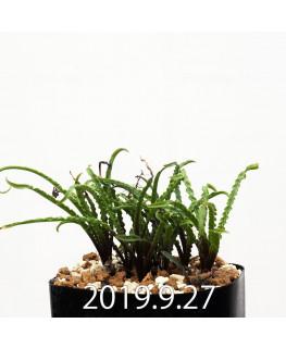 レデボウリア クリスパ 小型 子株 9218