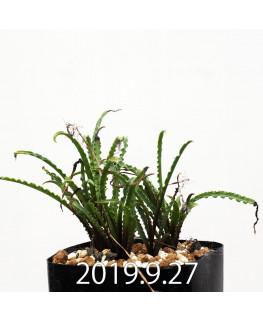 レデボウリア クリスパ 小型 子株 9244
